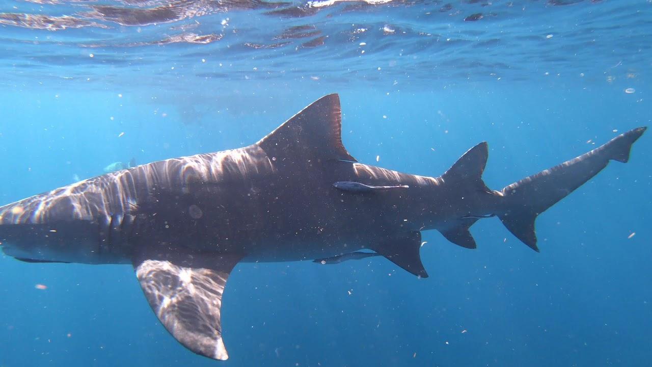 Calypso Shark Dive 11/25/18