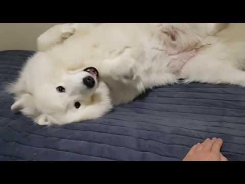 Samoyed Dog Personality Test! Her reaction?