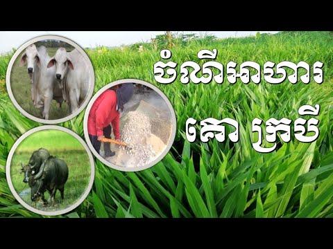 Cattle Feed ចំណីអាហារគោ ក្របី