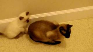 Sneak attack on momma cat- ninja kitten playing funny cute video- siamese babies