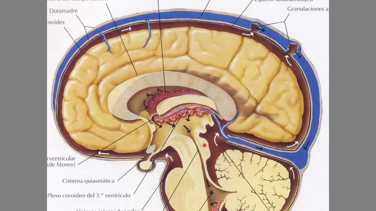 Líquido cefalorraquídeo (LCR) y su circulación - YouTube