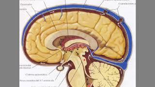 Líquido cefalorraquídeo (LCR) y su circulación
