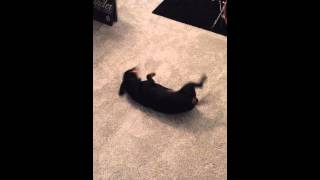 Funny Crazy Dachshunds After A Quick Shower