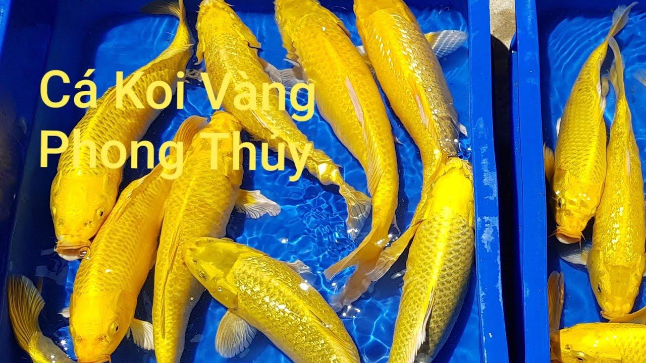 Cá Koi Vàng Phong thủy - Koi Farm [DiamondDa