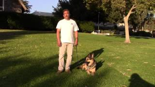 Sirius K9 Academy Basic Obedience Test Demonstration - Down @ Side