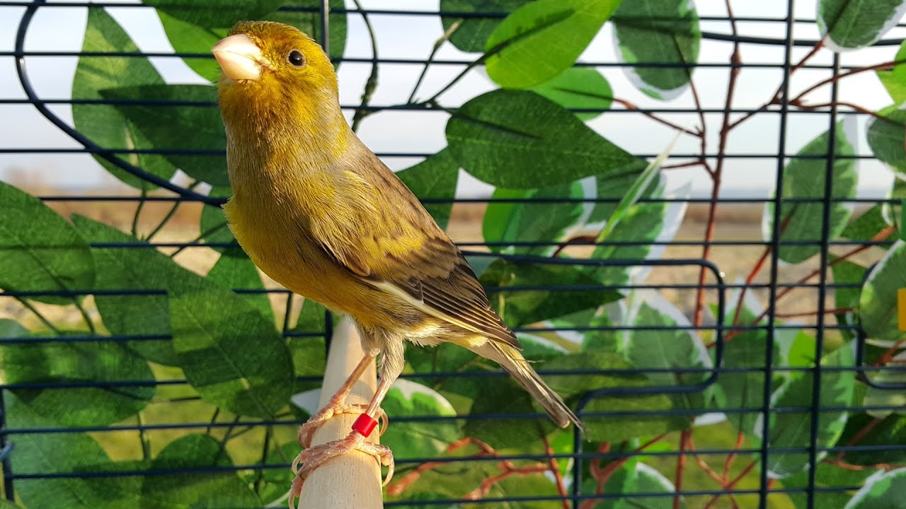 trifles symbolism and canary bird Canary: [catherine langhorne i agree the bird is the most significant prop in trifles offers a different perspective on the bird's symbolism:] i believe that.