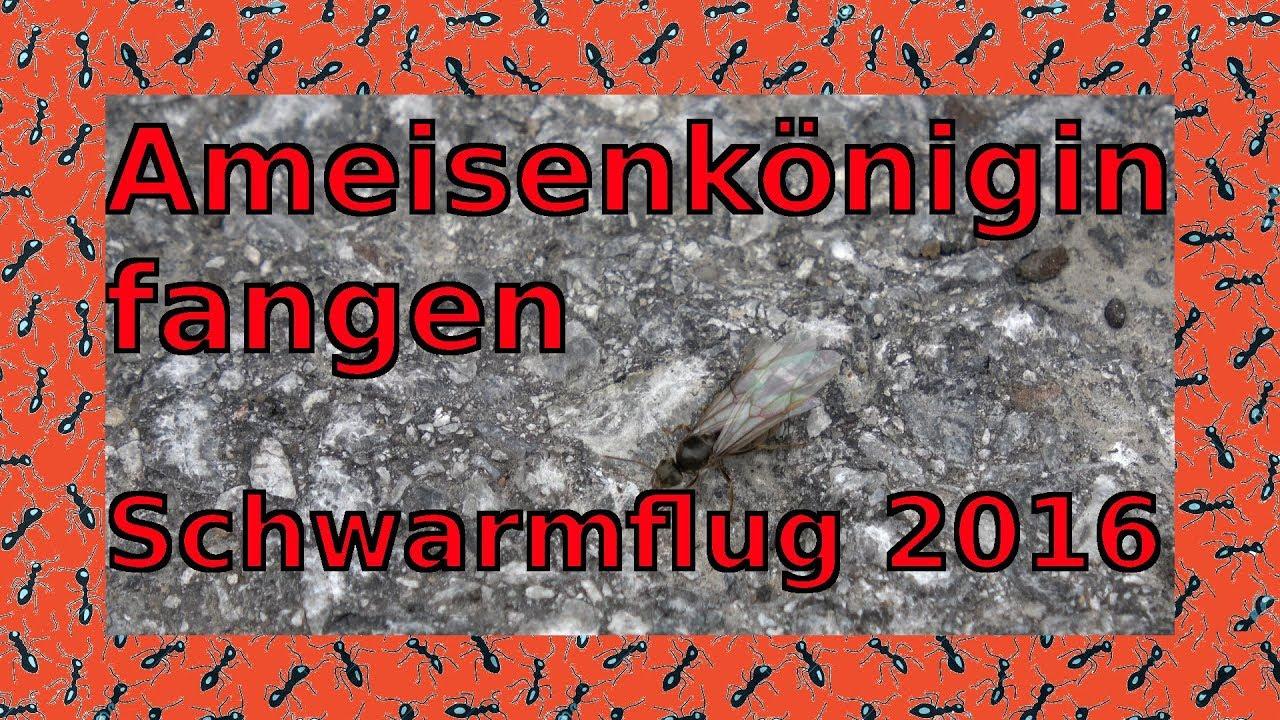 Ameisenkonigin Fangen Schwarmflug 2016 Youtube