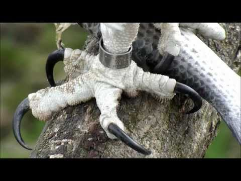Osprey - Evolutionary Adaptations on YouTube