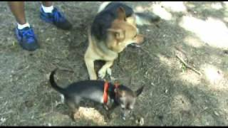 Fear Aggressive Chihuahua - Before And After - Nyc Dog Training - Dctk9