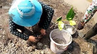 Xử lý thuốc trước khi trồng cây mít thái-cho cây phát triển tốt, rễ ra mạnh