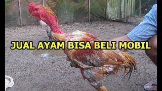 Inilah Ayam Bangkok Paling Mahal Di Dunia, Harganya Setara Pajero