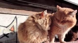 ПРИКОЛЫ 2016 Смешные коты! Подборка веселые коты, кошки, котята, приколы, ржака СМОТРЕТЬ ДО КОНЦа
