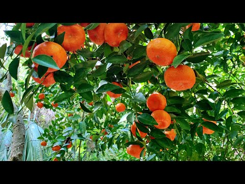 Wild Citrus In A Florida Forest?  Why It's A Big Deal.