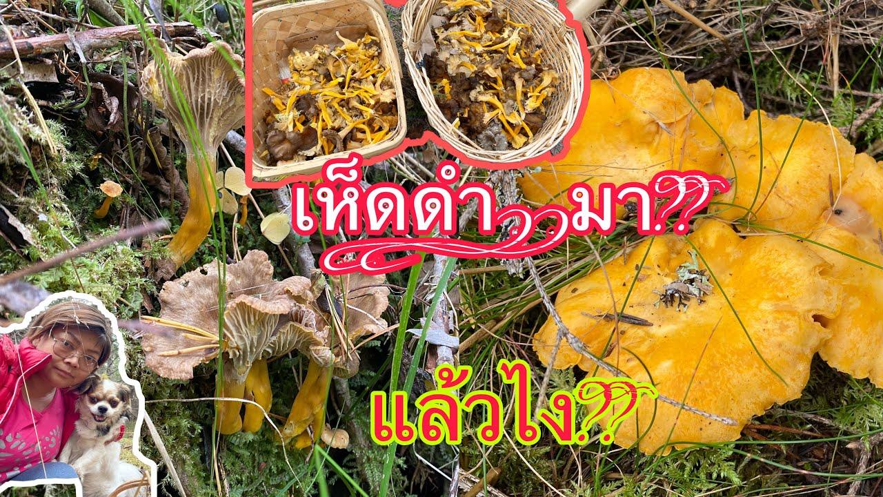 เห็ดดำมา‼️แล้วไงดี⁉️,เก็บเห็ดเหลือง,เห็ดดำ,กับหมวง #Trattkantarell(Craterellus tubaeformis)23/9/2020