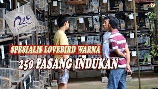 Download Video Ternak Lovebird Warna 250 Pasang Rio LBF Banyumas MP3 3GP MP4