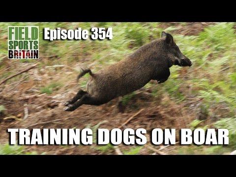 Fieldsports Britain - Training Dogs On Boar