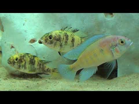 CARES   Haplochromine Cichlids Of Lake Victoria