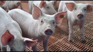 Opłacalna produkcja świń w nowoczesnej chlewni | FARMER.PL