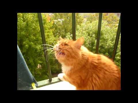 speaking siberian cat.avi