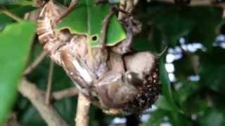 閲覧注意!! 自然の厳しさか猛暑の中セミが脱皮失敗そこにアリの襲来、弱...