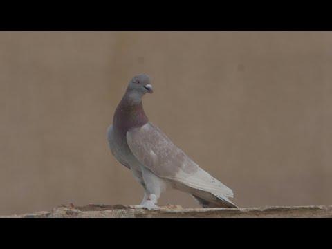 Biggest Pigeon Roller in Algeria 2018 .KLD-DZ PIGEON