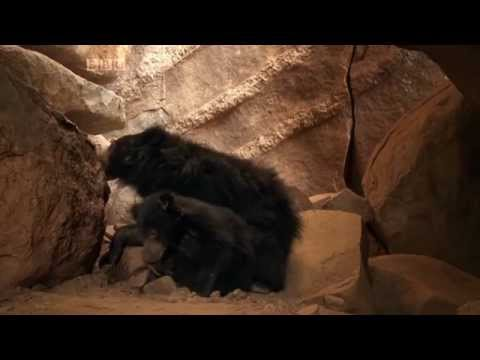 The Real Jungle Book Bear