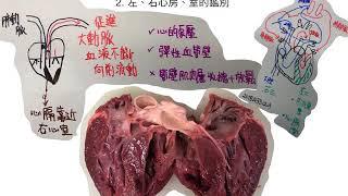DSE BIO2018A34,35 大動脈的血液流動及左、右心房、室的鑑別