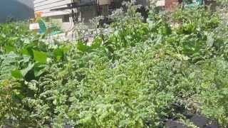 Growing Garbanzo Beans (chick Peas) By The Lettuce People