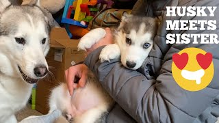 Husky Meets His New Puppy Sister For The First Time!! [He Talks To Her!!!!]