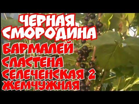 Черная смородина Бармалей, Сластена, селеченская -2,Жемчужная!