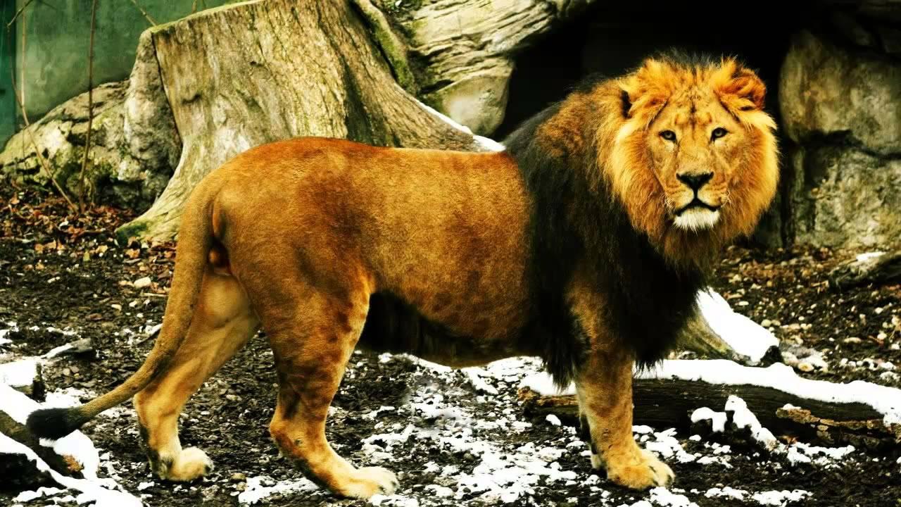 lion animal hindi Advertisements: शेर पर निबंध |essay on lion यदि यह प्रश्न पूछा जाए कि जंगल का राजा कौन है hindi, essay, animal, lion, essay on.