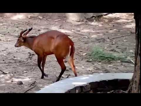 The Indian muntjac (Muntiacus muntjak), also called red muntjac and barking deer,