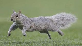 Hbdc Narrates: Nastyass Couger Devours, Squirrel Cheats Death