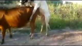 Прикол смех бык секс