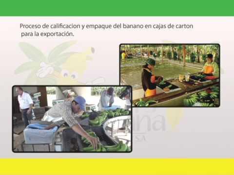 ROLINS BANANA - Proceso y Exportación de Banano
