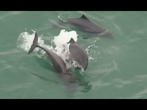 Harbor Porpoises Under The Golden Gate Bridge