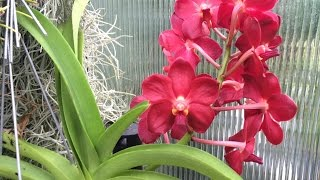 August Greenhouse Update Part 1: Orchid Care Guide and Orchids in Bloom