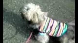 2011/11/08 ルビィお姉さんとお昼に散歩を試みたときの映像です。 なん...