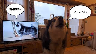 Dog sees best friend K'eyush on tele and can't quite Believe it!