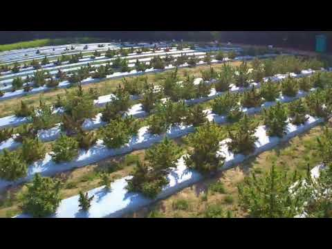 Drone Fly Ove of the Source Hemp Field