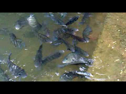 Fish culture karimeen by k s rajesh youtube for Is tilapia a fake fish