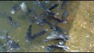FISH CULTURE (KARIMEEN) by  K.S.RAJESH