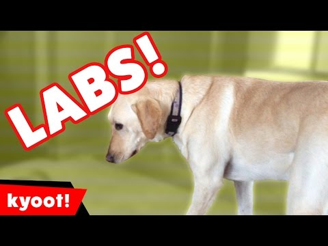 The Cutest Funny Labrador Home Videos of 2016 Weekly Compilation | Kyoot Animals