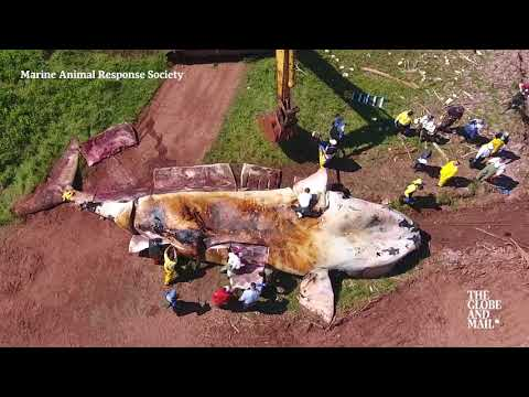 Studying right whale carcasses to discover what's causing their deaths