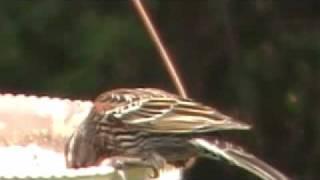 Identify Bird Red Winged Black Bird