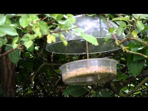 Robins taking Mealworm Crumble from a Bill Oddie Robin Feeder