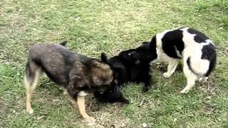 Бездомные собаки резвятся на лужайке, Сыктывкар
