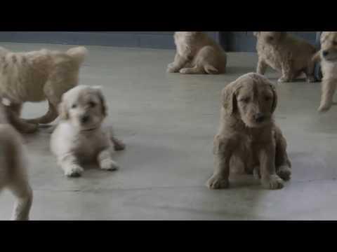 Andrew Hershberger's Goldendoodle Pups