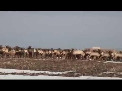 ALERT ! Yellowstone Herd of Elk Running for Their Lives !
