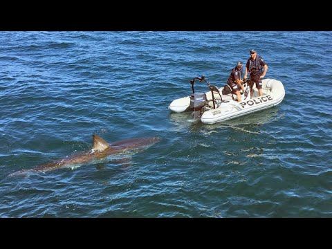 Great white shark interrupts police operation in South Australia